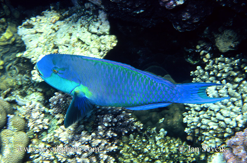 Photo of ploskozubec rudomořský Scarus gibbus Parrotfish