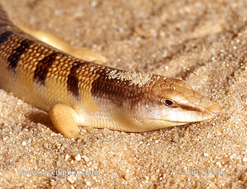 Photo of Scink obecný Scincus scincus Sand Fish Apothekerskink