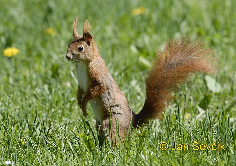 Photo of veverka obecná Sciurus vulgaris Red Squirrel Eichhornchen