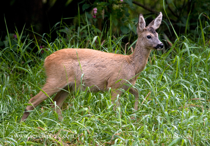 Photo of srnec Capreolus capreolus Roe Deer Reh