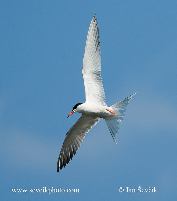 Photo of Rybák obecný Sterna hirundo Common Tern Flusseschwalbe