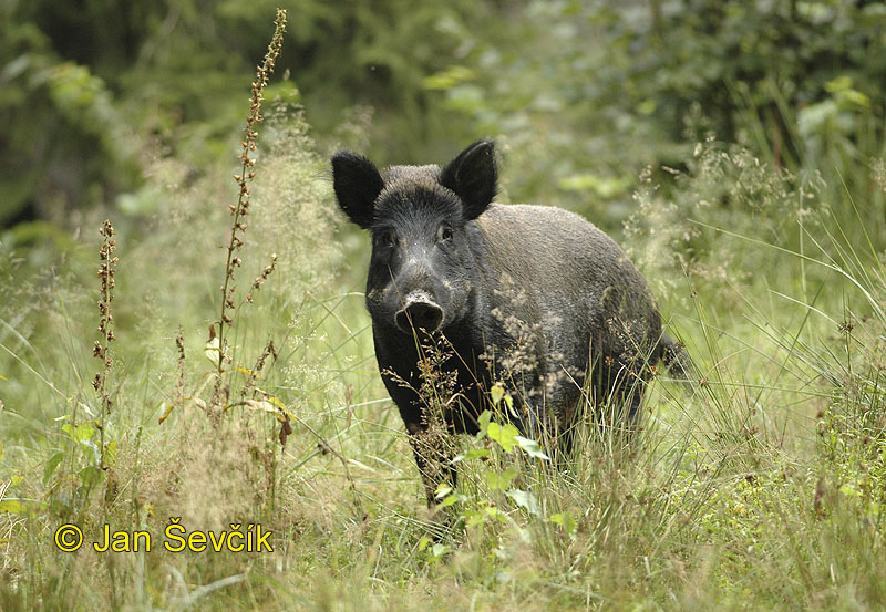 Photo of prase divoké, Sus scrofa, Wild Boar, Wildschwein