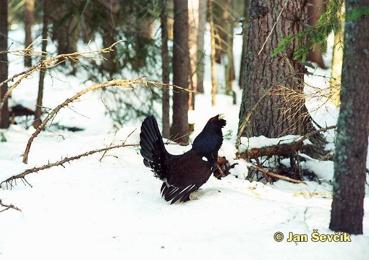 Photo of tetřev hlušec, Western Capercaillie, Auerhuhn, Tetrao urogallus.