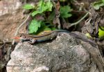 Photo of Ameiva auberi Blue-tailed Lizard Correcostas