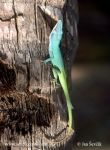 Photo of Anolis allisoni Blue headed Anole Cameleón Azul