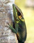 Photo of anolis Anolis baracoae Baracoa Knight Anole Salta Cocote