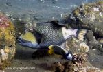 Photo of ostenec  Balistoides viridescens Titan triggerfish