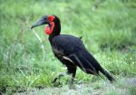 Photo of zoborožec kaferský Bucorvus leadbeateri Ground Hornbill Hornrabe