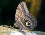 Photo of Soví oko Caligo memnon Giant Owl Butterfly Bannanenfalter