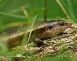 Photo of scink Eutropis carinata Common Skink