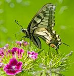 Photo of otakárek fenyklový Papilio machaon Swallowtail Schwalbenschwanz