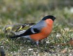 Photo of Hýl obecný Pyrrhula pyrrhula Bullfinch Gimpel