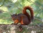 Photo of veverka Sciurus granatensis Red-tailed Squirrel