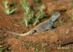 Photo of agama, Tree Agama, Blaukehlagame, Acanthocercus atricollis.