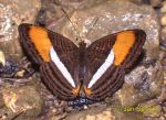 Photo of babočka Adelpha cytherea