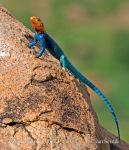 Photo of  Agama osadní Agama lionotus Red-headed Rock Agame Siedleragame