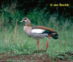 Photo of husice nilská Egyptian Goose Alopochen aegyptiacus