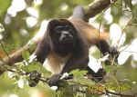 Photo of vřešťan pláštíkový, Mantled howler monkey, Mantelbrullaffe, Alouatta palliata