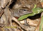 Photo of Ameiva festiva, Central American whiptailed Lizard, Largartija Chisbala