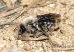Photo of pískorypka Andrenidae sp. Mining Bee