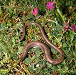 Photo of slepýš křehký Anguis fragilis Slow-worm Blindschleiche