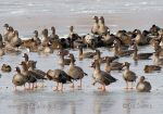 Photo of husa běločelá Anser albifrons Greated White-fronted Goose Blessgans
