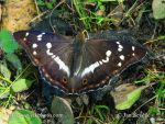 Photo of batolec duhový Apatura iris Purple emperor Grosser Schillerfalter