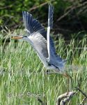 Photo of volavka popelavá Ardea cinerea Grey Heron Fischreiher