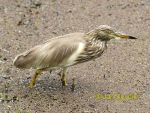 Photo of volavka hnědohřbetá Ardeola grayii Indian Pond Heron Paddyreiher