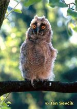 Photo of Asio otus.