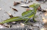 Photo of bazilišek zelený Basiliscus plumifrons Double-crested Basilisk Stirnlappenbasilisk