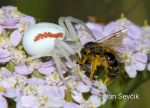 Photo of běžník kopretinový Misumena vatia Crab Spider Krabbenspinne