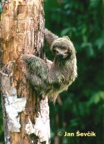 Photo of lenochod hnědokrký, Brown-throated three-toed sloth, Drei finger faultiere, Bradypus variegatus.