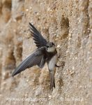 Photo of břehule říční Riparia riparia Sand Martin