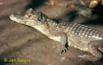 Photo of Caiman crocodilus fuscus, Brillenkaiman, Spectacled Caiman, kajman brýlový.