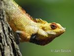 Photo of lepoještěr pestrý Calotes versicolor Changeable Lizard