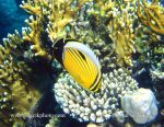 Photo of klipka žebrovaná Chaetodon austriacus Blacktail Butterflyfish