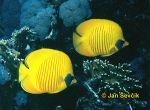 Photo of klipka, Chaetodon semilarvatus, Golden Butterflyfish