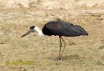 Photo of  čáp bělokrký Ciconia episcopus White-necked Stork Wollhalsstorch