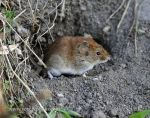 Photo of norník rudý Clethrionomys glareolus Bank Vole Rötelmaus