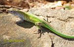 Photo of Cnemidophorus senectus Green Rainbow Lizard Tupfel Rennechse
