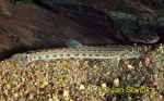 Photo of sekavec Cobitis elongatoides Spined Loach Stein Beisser