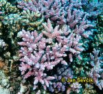 Photo of korál, coral Acropora squarrosa