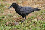 Photo of vrána vrubozobá Corvus macrorhynchos Large-billed Crow Dicks schnabelkrahe