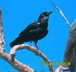 Photo of vrána africká, Corvus capensis, Black Crow