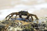 Photo of  krab crab sp.