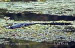 Photo of krokodýl středoamerický Crocodylus moreletii Morelets crocodile Cocodrilo de Pantano