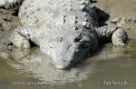 Photo of krokodýl americký Crocodylus acutus American Crocodile Spitkrokodil