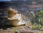 Photo of  krokodýl kubánský Cuban Crocodile Crocodylus rhombifer