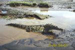 Photo of  krokodýl americký Crocodylus acutus Spitzkrokodil American crocodile